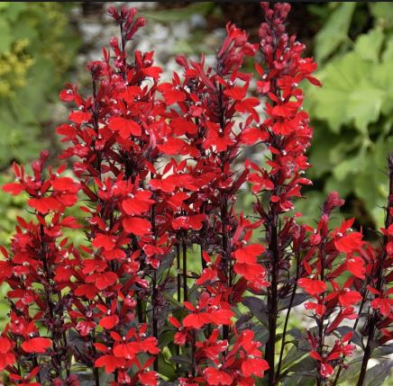 Perennials a l homestead nurseries description stunning spikes of scarlet five petalled flowers rise up in late summer among beautiful beetroot coloured foliage a splash of vibrant colour mightylinksfo